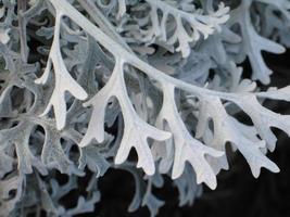 planta molinero polvoriento