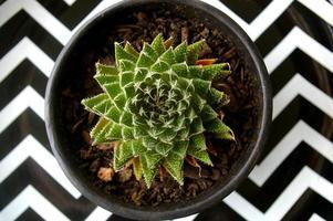 Succulent pot plant photo