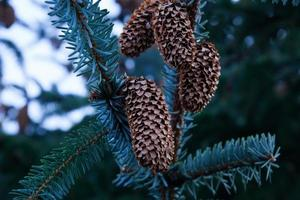 Plant - Pine Cone photo