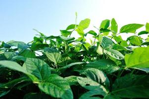 green soybean plants photo
