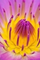 purle yellow water lily for abstact background