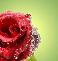 rosa roja con gotas de agua foto