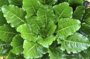 Sugar beet plant.