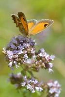 Pyronia butterfly on flower