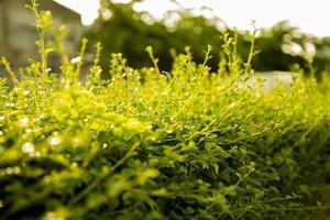 Plant tea tree photo