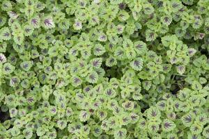 Coleus atropurpurrus , plant photo