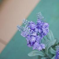 Blue purple indoor plant