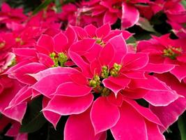 Pink poinsettia plant