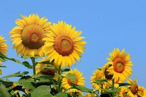 Sunflowers on plant