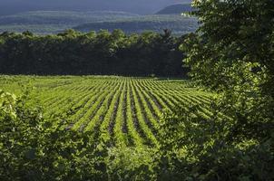 soybean plant field