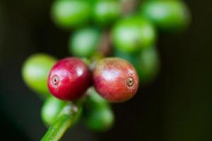 granos de cafe en planta foto