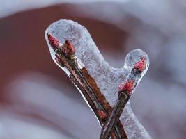 Ice covered budding plant photo