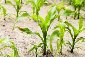 corn plants  an agricultural field