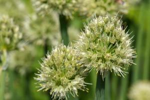 onion flower buds plant vegetables