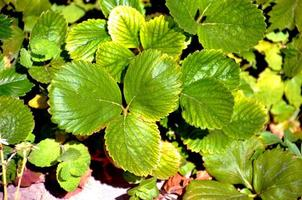 Strawberry plant leaves sunny day photo