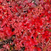dwergplant met rode bladeren