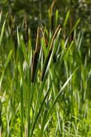 biesplanten in het moeras
