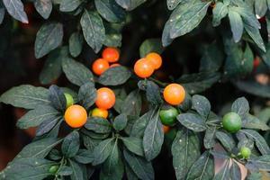 Round Red Chili Pepper Plant