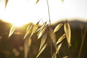Dry oat plant in sunlight