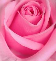serie rosa foto