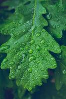 Green leaf of oak in drops of dew