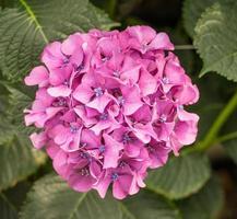 planta de hortensia de flores rosadas y azules foto