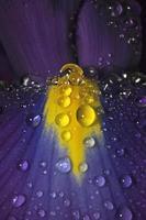 Iris petal with water pearls (genus Iris)