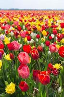 campo de tulipanes multicolores