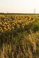 campo de girasol está floreciendo al atardecer