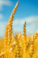 plants  of wheat on  background sky