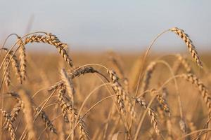 Wheat or rye agriculture field plant photo