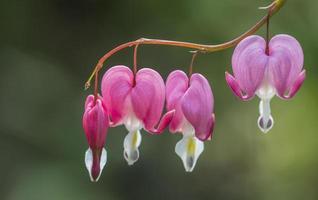 fleur de coeur saignant