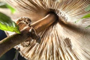 Mushroom, closeup.. photo