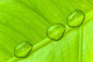 folha de filodendro com gotas de água