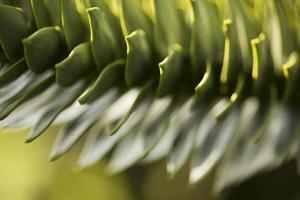 Araucaria photo