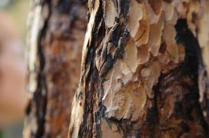 Brown bark of pine-tree