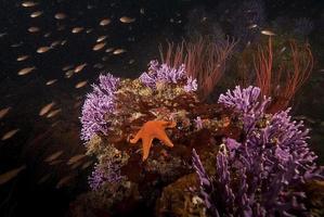 Purple Hydrocoral and starfish