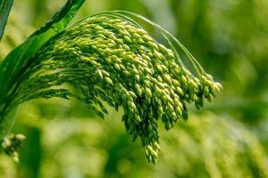 Preview green field plant millet background photo
