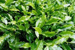 planta - plantación de té