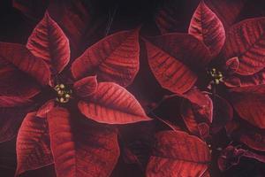 planta de poinsettia retro