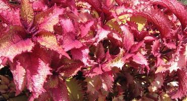 red decorative plant