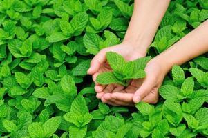 manos protegen las plantas de menta foto