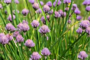 onion flower plant vegetables