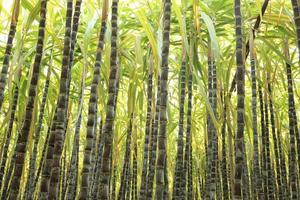 plantas de caña de azúcar en el campo foto