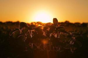 plantas de soja en la luz del sol de la tarde