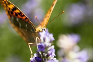 hermosa mariposa sentada sobre plantas de lavanda