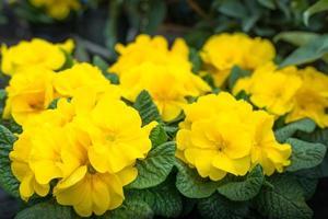 Yellow flowering Primula plants photo