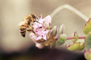 Bee on a blooming succulent plant
