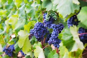 bunch of grapes at vineyards plant photo