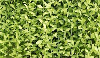 couleur verte du fond de la plante grimpante horizontale